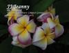 Jenny JJ (rooted) aka Jeannie 63 Plumeria