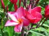 Noon Plumeria