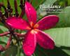 Flashdance FCN (rooted )  Plumeria