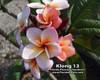 Klong 13 Plumeria
