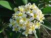 Yellow Jack Plumeria