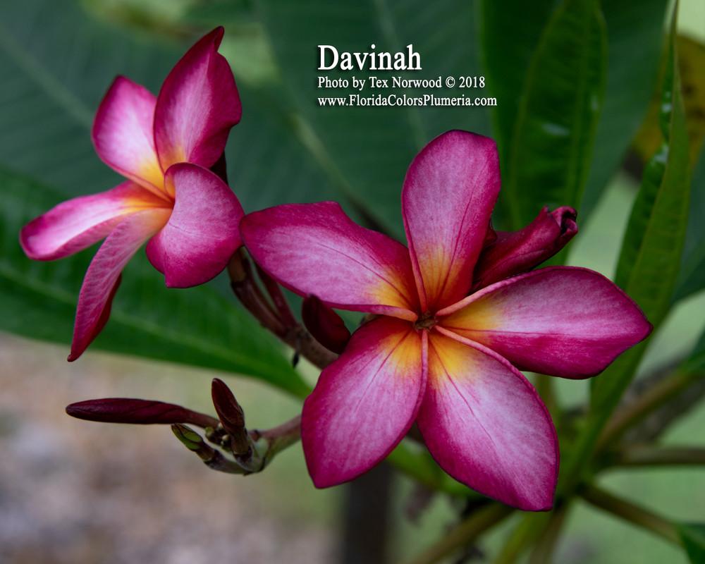 Davinah FCN  (rooted) Plumeria