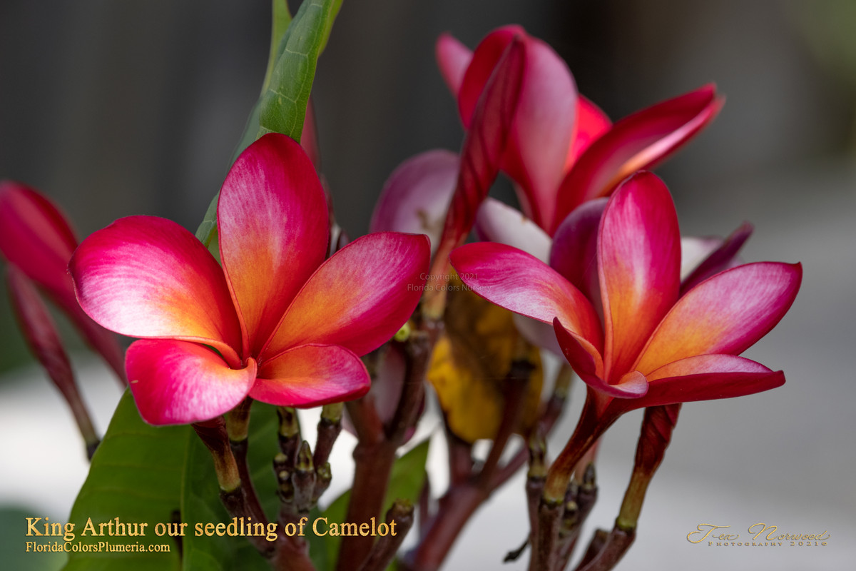 King Arthur FCN  (grafted with roots) Plumeria