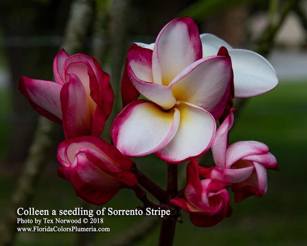 Colleen FCN (grafted with roots)  Plumeria
