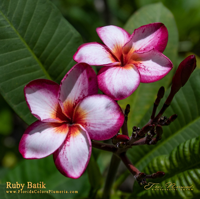 Ruby Batik FCN (grafted with roots) Plumeria