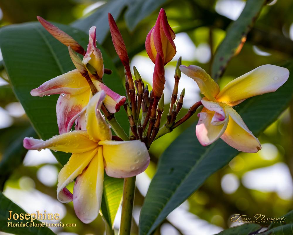 Josephine FCN (Rooted) Plumeria
