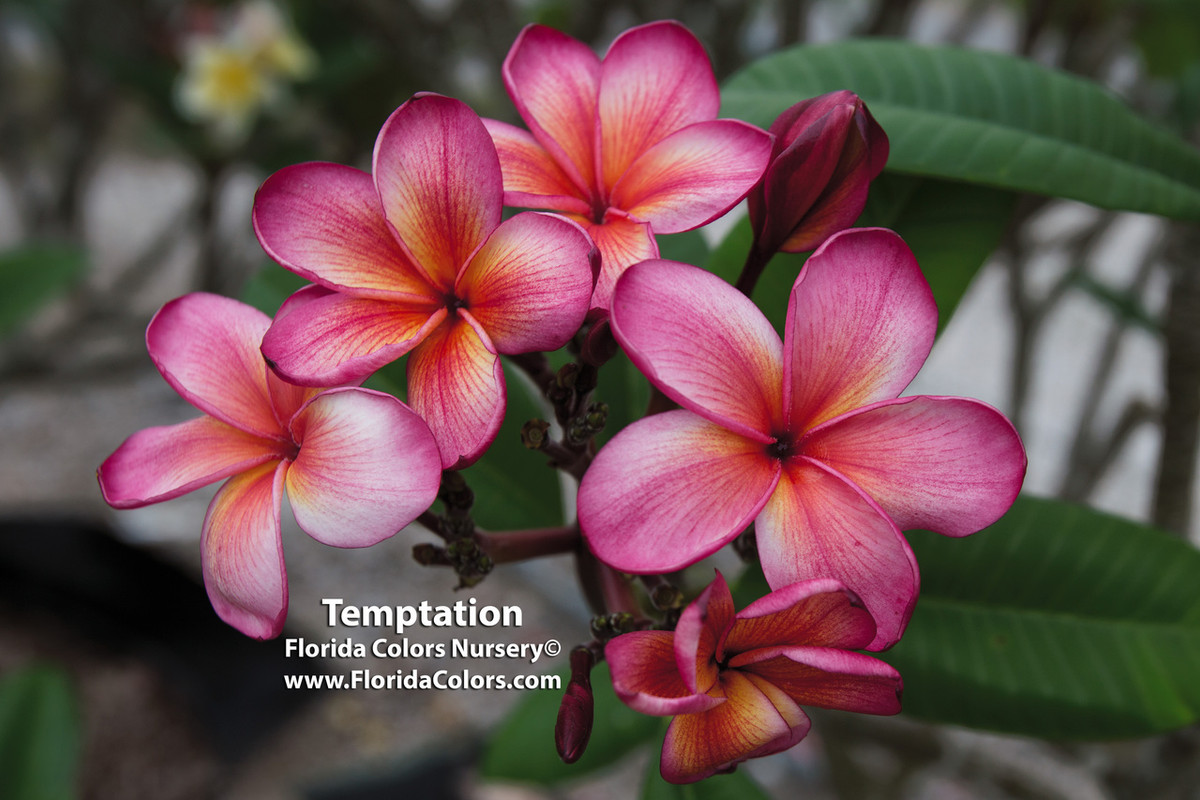 Temptation JJ  aka PC 33 (rooted) Plumeria