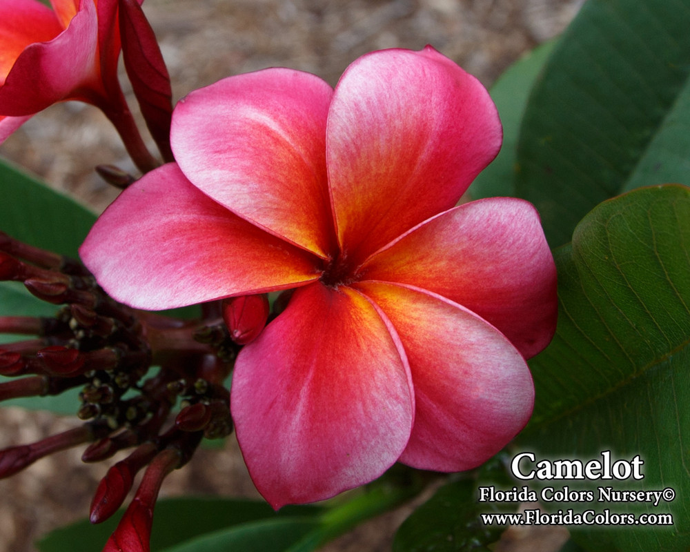Camelot  FCN (rooted) Plumeria
