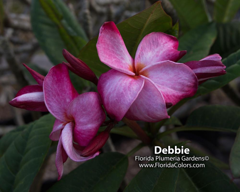 Debbie (rooted)  aka JJ Nirvana Plumeria