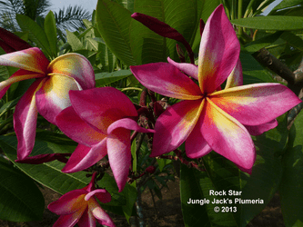 Rock Star JJ (grafted with roots) Plumeria