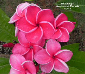 Pinot Rouge JJ (grafted with roots) Plumeria