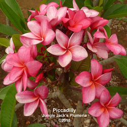 Piccadilly JJ (rooted)  Plumeria