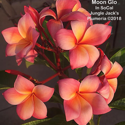 MoonGlo JJ (grafted with roots) Plumeria