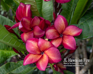 Hawaiian Fire JL (grafted with roots) Plumeria