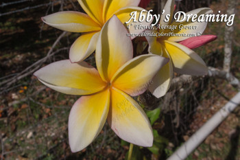 Chiang Mai Girl (rooted)  Plumeria