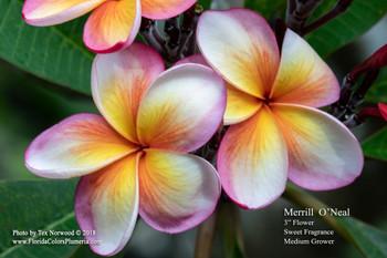 Merrill O'Neal Plumeria