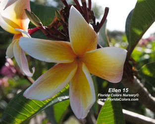 Ellen 15 (grafted with roots) Plumeria