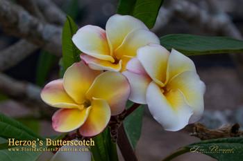 Herzog's Butterscotch ( rooted) Plumeria