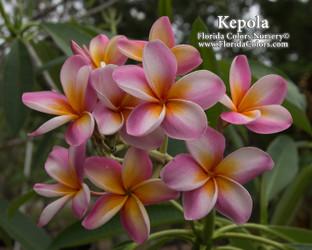 Kepola Rainbow (rooted) Plumeria