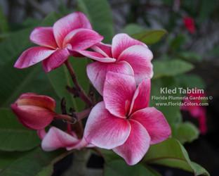 Kled Tabtim (rooted)  Plumeria
