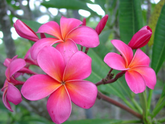 Royal Hawaiian (rooted) aka Plastic Pink Plumeria