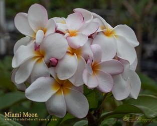 Miami Moon Plumeria