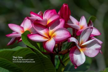 Thai Gem (rooted)  Plumeria