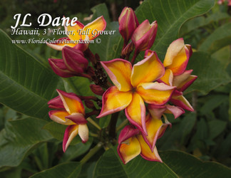 Dane JL (grafted with roots)  Plumeria