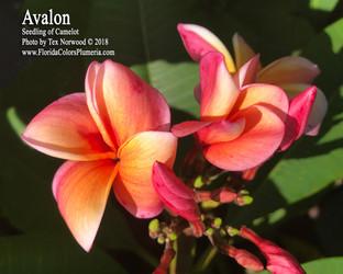 Avalon Plumeria