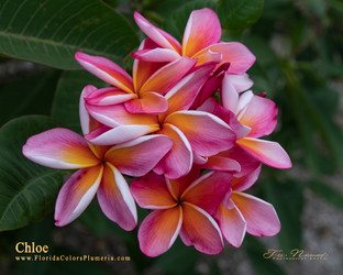Chloe FCN (rooted) Plumeria