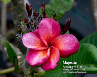 Majestic FCN  (grafted with roots) Plumeria