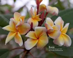Roxie Plumeria