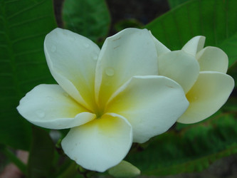 Chocolate (rooted)  Plumeria