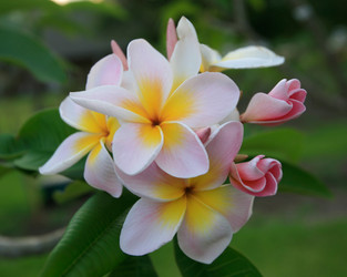 Courtade Pink Plumeria
