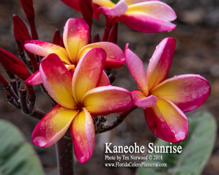 Kaneohe Sunrise (rooted) Plumeria