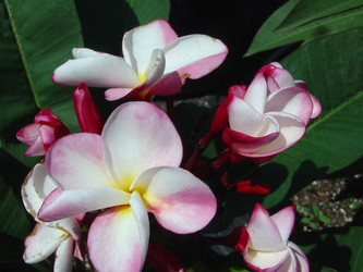 Baby Doll FCN (grafted with roots) Plumeria