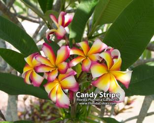 Candy Stripe Plumeria