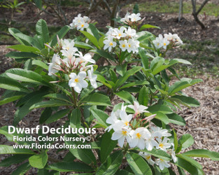 Dwarf Deciduous (rooted) Plumeria