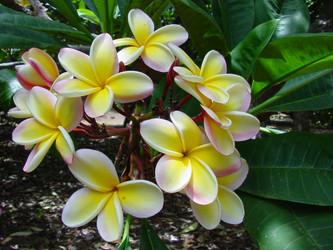 Lei Rainbow (rooted)  Plumeria