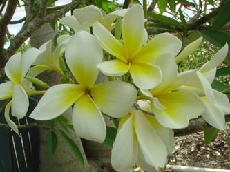 Polynesian White aka Sherman Plumeria