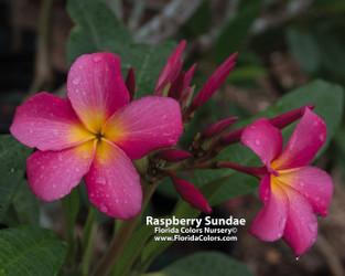 Raspberry Sundae Plumeria