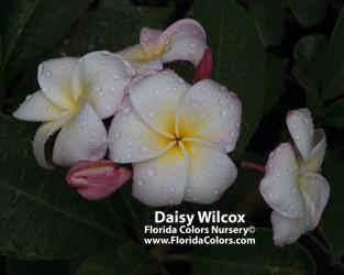 Daisy Wilcox (rooted) Plumeria