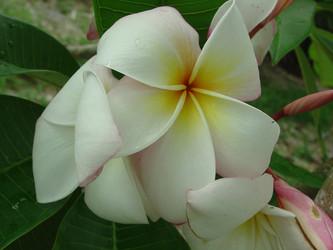 Daisy Wilcox Plumeria