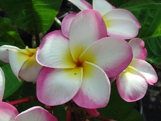 Gabrielle FCN (rooted)  Plumeria