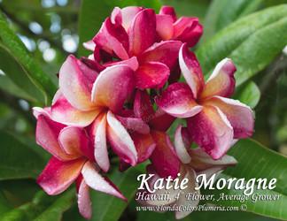 Katie Moragne (rooted) Plumeria