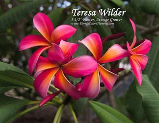Teresa Wilder  (rooted) Plumeria