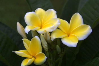 Lemon Drop (grafted with roots)  aka Thornton's Lemon Drop Plumeria