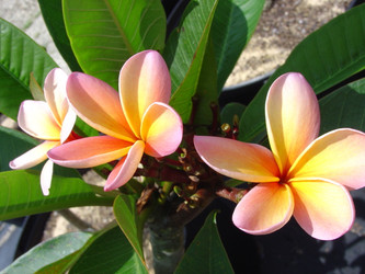 Burton Yellow FCN (grafted with roots) Plumeria