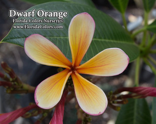 Dwarf Orange (grafted with roots) Plumeria