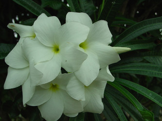 P. pudica  (rooted) aka Bridal Bouquet Plumeria